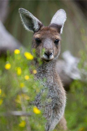 Western gray kangaroo (Macropus fuliginosus), Yanchep National Park, West Australia, Australia, Pacific Stock Photo - Rights-Managed, Code: 841-03674037