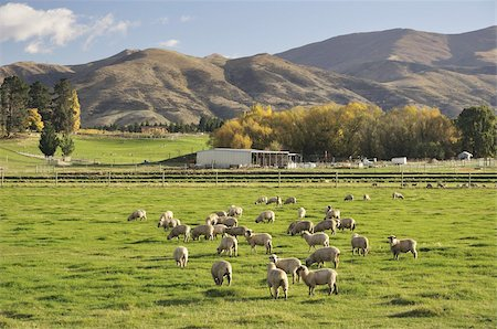 Sheep on farmland, near Tarras, Otago, South Island, New Zealand, Pacific Stock Photo - Rights-Managed, Code: 841-03674261