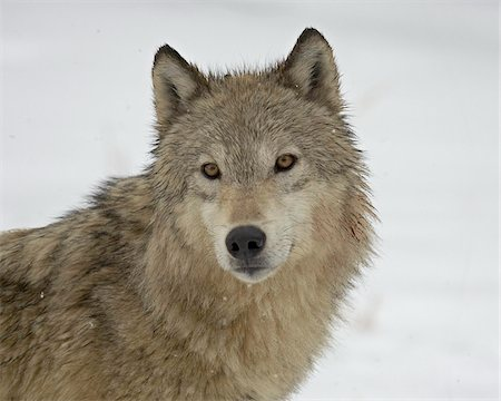 furry - Gray Wolf (Canis lupus) in snow in captivity, near Bozeman, Montana, United States of America, North America Stock Photo - Rights-Managed, Code: 841-03674304