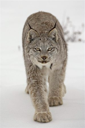 predator - Canadian Lynx (Lynx canadensis) in snow in captivity, near Bozeman, Montana, United States of America, North America Stock Photo - Rights-Managed, Code: 841-03674314
