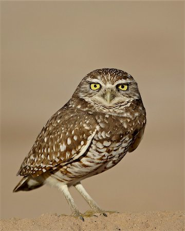spotted - Burrowing owl (Athene cunicularia), Salton Sea, California, United States of America, North America Stock Photo - Rights-Managed, Code: 841-03674415