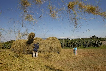 Rice threshing, Mui Ne, Bin Thuan, Vietnam, Indochina, Southeast Asia, Asia Stock Photo - Rights-Managed, Code: 841-03675982