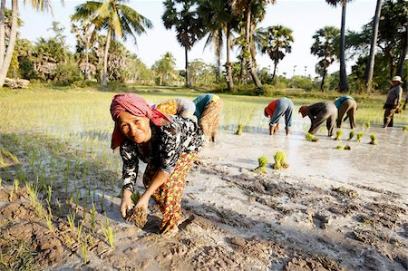 Farmers planting rice, Siem Reap, Cambodia, Indochina, Southeast Asia, Asia Stock Photo - Rights-Managed, Code: 841-03676003