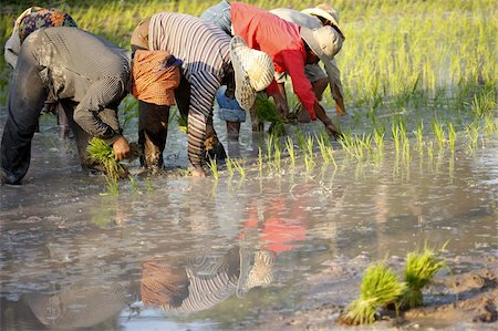 Farmers planting rice, Siem Reap, Cambodia, Indochina, Southeast Asia, Asia Stock Photo - Rights-Managed, Code: 841-03676038