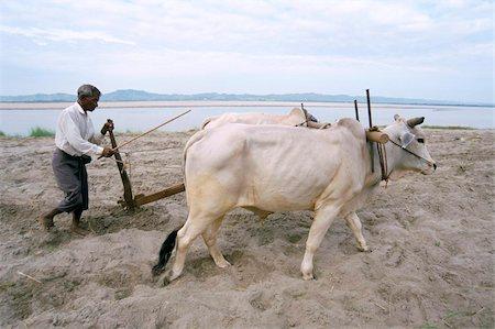 plow - Farmer ploughing field, Bagan (Pagan), Mandalay Division, Myanmar (Burma), Asia Stock Photo - Rights-Managed, Code: 841-03673822