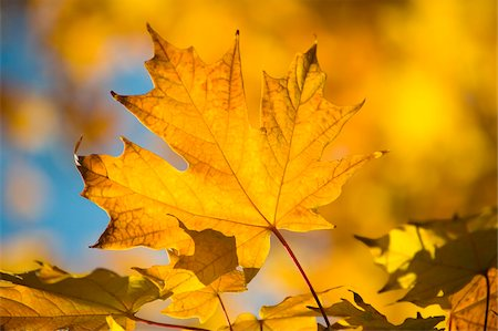 Bright yellow maple leaves in autumn, Vermont, New England, United States of America, North America Stock Photo - Rights-Managed, Code: 841-03867895