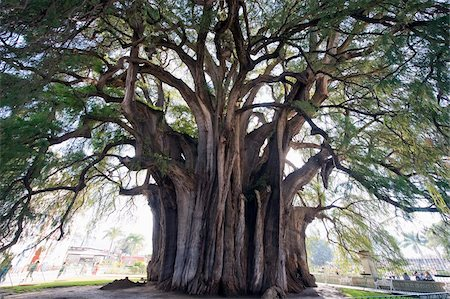 El Tule tree, the worlds largest tree by circumference, Oaxaca state, Mexico, North America Stock Photo - Rights-Managed, Code: 841-03868649