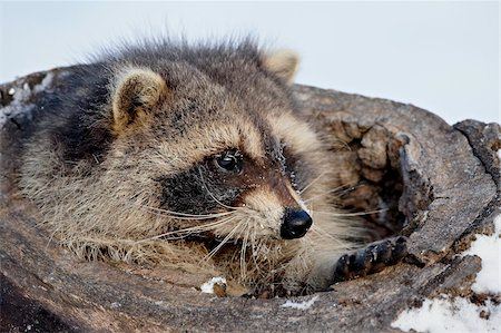 Raccoon (Procyon lotor) in the snow, in captivity, near Bozeman, Montana, United States of America. North America Stock Photo - Rights-Managed, Code: 841-03869227