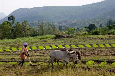 plow - Ploughing an agricultural field, Marayoor, Kerala, India, Asia Stock Photo - Rights-Managed, Code: 841-03870225