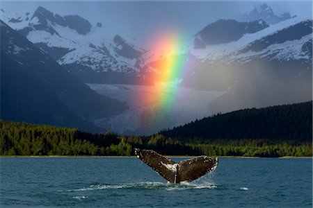 COMPOSITE: Bright rainbow appears over Eagle Beach after a rain shower with a fluking Humpback Whale in the foreground, Inside Passage, Southeast Alaska, Summer Stock Photo - Rights-Managed, Code: 854-05974216