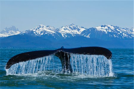 Humpback Whale fluking in Lynn Canal with Chilkat Mountains in the distance, Inside Passage, Southeast Alaska, Summer Stock Photo - Rights-Managed, Code: 854-05974217