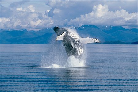 View of a Humpback whale breaching in Frederick Sound, Tongass National Forest, Southeast Alaska, Summer Stock Photo - Rights-Managed, Code: 854-05974242