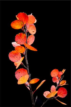 dwarf - Close up of red &orange leaves and branch from a dwarf Birch against a black background, Maclaren River valley, Denali Highway, Interior Alaska, Autumn Stock Photo - Rights-Managed, Code: 854-05974378