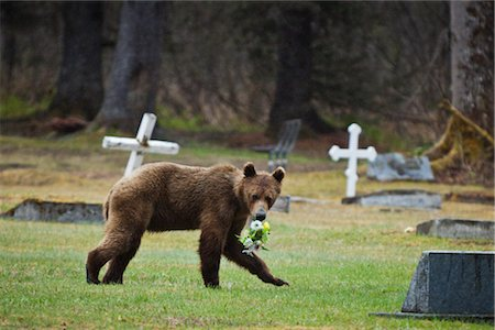 Juvenile Brown bear stealing flowers from a cemetery near Valdez, Southcentral Alaska, Spring Stock Photo - Rights-Managed, Code: 854-05974398