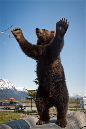 CAPTIVE: Male Brown bear stands on hind feet on a log with his arms raised, Alaska Wildlife Conservation Center, Southcentral Alaska, Spring Stock Photo - Rights-Managed, Code: 854-05974400