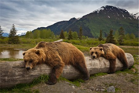 CAPTIVE: Two mature Brown bears lay stretched out on a log at Alaska Wildlife Conservation Center, Southcentral Alaska, Summer Stock Photo - Rights-Managed, Code: 854-05974401
