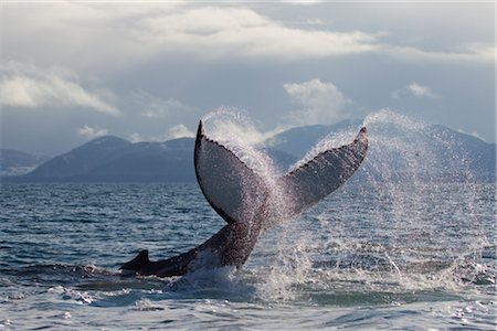 Humpback whale tail slapping surface of Prince William Sound, Southcentral Alaska, Spring Foto de stock - Con derechos protegidos, Código: 854-05974479