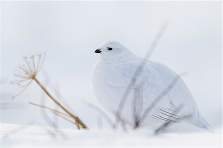 seasonal - Willow Ptarmigan in white winter plumage sitting behind bare branches on snowpack, Chugach Mountains, Southcentral Alaska, Winter Stock Photo - Rights-Managed, Code: 854-05974473