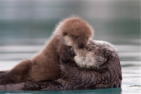 seasonal - Female Sea otter holding newborn pup out of water, Prince William Sound, Southcentral Alaska, Winter Stock Photo - Rights-Managed, Code: 854-05974484