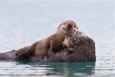 seasonal - Female Sea otter with newborn pup riding on her stomach, Prince William Sound, Southcentral Alaska, Winter Stock Photo - Rights-Managed, Code: 854-05974485
