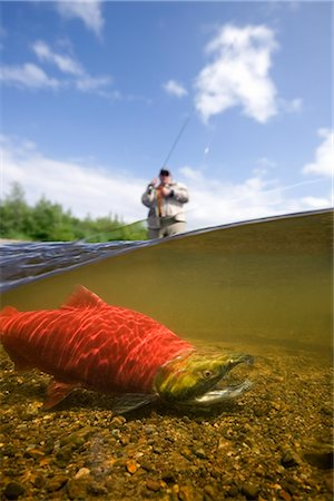 quest - Close up of sockeye salmon in river with fly fisherman in background Alagnak River Katmai National Park and Preserve southwest Alaska summer Composite Stock Photo - Rights-Managed, Code: 854-02954950