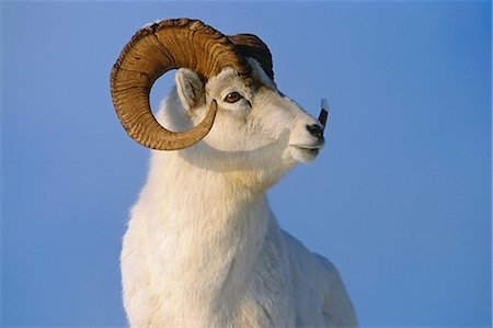 Dall Sheep ram after recent rut winter portrait Stock Photo - Rights-Managed, Code: 854-02955300