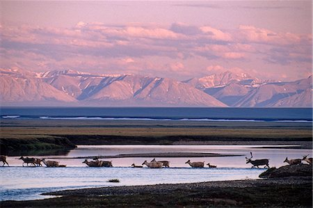 reindeer in snow - Porcupine Caribou herd Tamayariak River ANWR AK Stock Photo - Rights-Managed, Code: 854-02955317