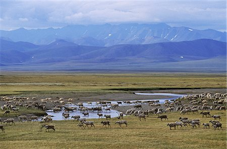 Porcupine Caribou herd crossing Turner River Arctic National Wildlife Refuge Arctic AK Summer Stock Photo - Rights-Managed, Code: 854-02955318