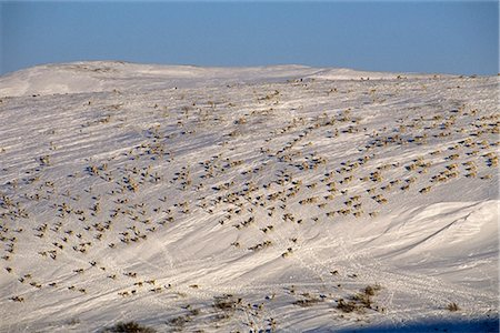 reindeer in snow - Western Arctic Caribou herd migrating north in spring through Delong Mountains Brooks Range Western Alaska Stock Photo - Rights-Managed, Code: 854-02955326