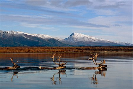 reindeer in snow - Caribou bulls swimming across Kobuk River Arctic Alaska Autumn Kobuk Valley National Park Stock Photo - Rights-Managed, Code: 854-02955321
