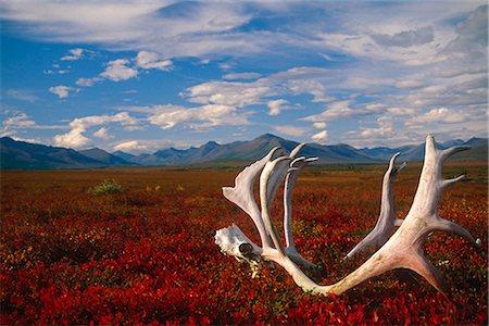 Caribou skull & antlers laying on Arctic tundra Kobuk Valley National Park Alaska Autumn Stock Photo - Rights-Managed, Code: 854-02955323