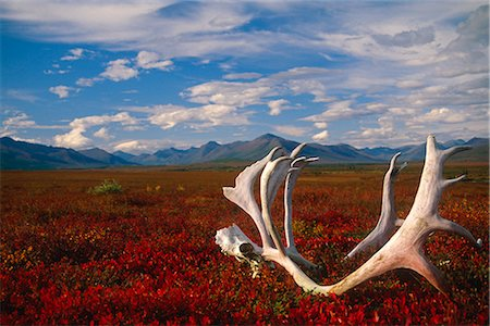 Caribou skull & antlers laying on Arctic tundra Kobuk Valley National Park Alaska Autumn Stock Photo - Rights-Managed, Code: 854-02955323