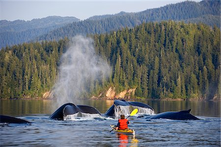 quest - Man Sea Kayaking near swimming pod of Humpback whales Inside Passage Southeast Alaska Summer Composite Stock Photo - Rights-Managed, Code: 854-02955375
