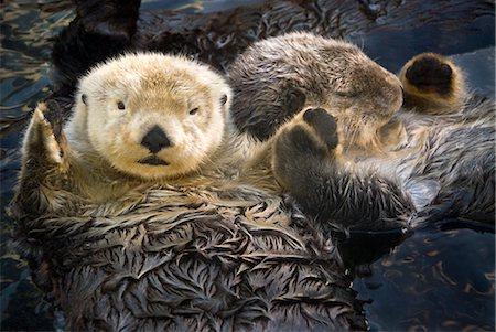 placing - CAPTIVE Two Sea Otters holding paws at Vancouver Aquarium in Vancouver, British Columbia Canada CAPTIVE Stock Photo - Rights-Managed, Code: 854-02955399