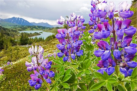 seasonal - Lupine flowers near Lost Lake Seward Alaska Chugach National Forest Southcentral summer Stock Photo - Rights-Managed, Code: 854-02956003