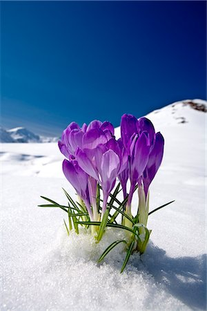 seasonal - Crocus flower peeking up through the snow with mountains in the background. Spring. Southcentral Alaska. Stock Photo - Rights-Managed, Code: 854-02956045