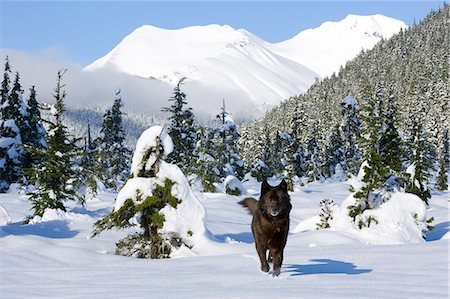 predator - Black wolf in snow covered meadow in Alaska's Tongass Forest with Coast Mountains in the background Stock Photo - Rights-Managed, Code: 854-03361945