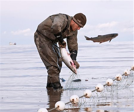 Commercial gillnet fisherman picks sockeye from a net on the Naknek North Shore, Bristol Bay, Alaska/n Stock Photo - Rights-Managed, Code: 854-03362245