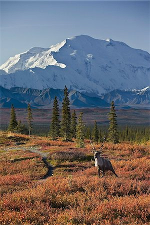 reindeer in snow - A bull caribou walks across the fall tundra with Mt. McKinley in the background in Denali National Park, Alaska. August/Sept. 2008 Stock Photo - Rights-Managed, Code: 854-03538280