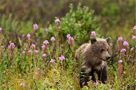 floral - Young brown bear cub walks among blooming fireweed in the rain, Sable Pass, Denali National Park and Preserve, Interior Alaska, Summer Stock Photo - Rights-Managed, Code: 854-03645948