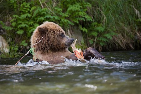 View of a Brown bear eating a salmon carcass from a tangled fishing line in the Russian River, Kenai Peninsula, Southcentral, Alaska, Chugach National Forest, Kenai National Wildlife Refuge, Summer Stock Photo - Rights-Managed, Code: 854-03645949