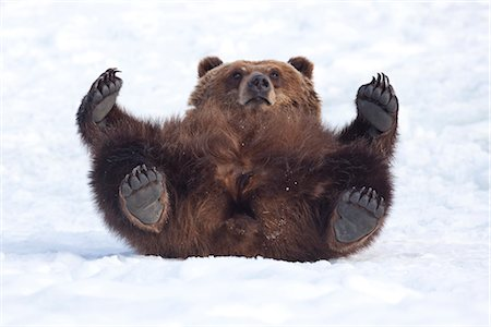 roll (people and animals rolling around) - An adult female Brown bear rolls in the snow and looks towards camera while laying on her back, Alaska Wildlife Conservation Center, Portage, Southcenttral Alaska, Winter, CAPTIVE Stock Photo - Rights-Managed, Code: 854-03645961