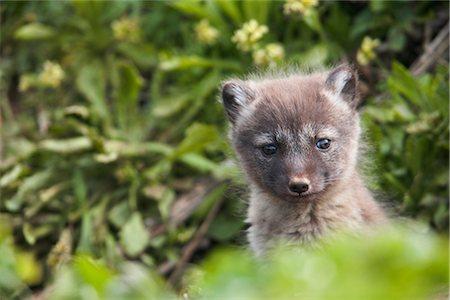 shy baby - Close up of an Arctic Fox  pup peeking out from its den, Saint Paul Island, Pribilof Islands, Bering Sea, Southwestern Alaska, Summer Stock Photo - Rights-Managed, Code: 854-03646047