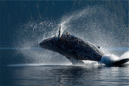 Humpback Whale breaching in the waters of the Inside Passage, Southeast Alaska, Summer Stock Photo - Rights-Managed, Code: 854-03646074
