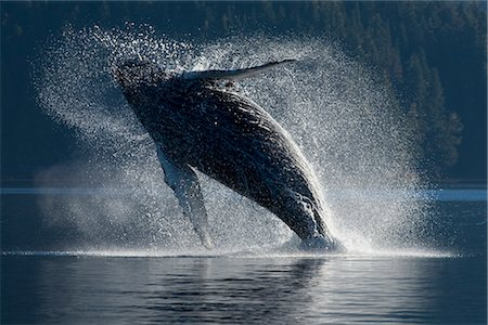 Humpback Whale breaching in the waters of the Inside Passage, Southeast Alaska, Summer Stock Photo - Rights-Managed, Code: 854-03646071