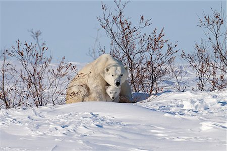 shy baby - A 12- 14 week old Polar Bear (Ursus maritimus) cub huddles beneath its mothers front legs for protection and shelter, Wapusk National Park, Manitoba, Canada, Winter Stock Photo - Rights-Managed, Code: 854-03646136