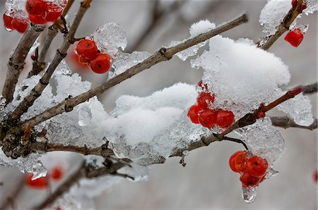 foliage - Close up of snowcovered Baneberries in Knik River Valley, Southcentral Alaska, Winter, Extended Depth of Field Stock Photo - Rights-Managed, Code: 854-03646746