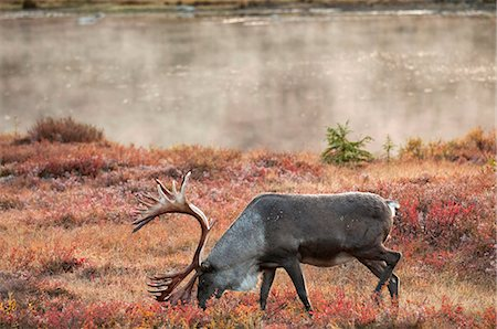 Bull caribou browses amidst the Autumn tundra on the north side of Wonder Lake in Denali National Park & Preserve, Interior Alaska, Fall Stock Photo - Rights-Managed, Code: 854-03739629