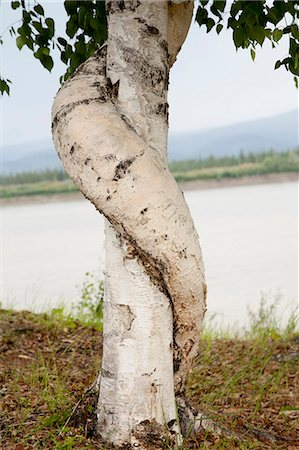 quest - A birch tree wraps around another birch outside of the historical Slaven's Roadhouse along the the Yukon River, Yukon-Charley Rivers National Preserve,  Interior Alaska, Summer Stock Photo - Rights-Managed, Code: 854-03739741