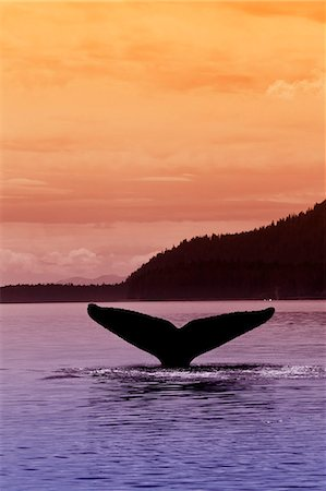 dripping silhouette - Silhouette of a humpback whale's fluke as it returns to the depths of Seymour Canal at sunset, Admiralty Island beyond, Inside Passage, Tongass National Forest, Southeast Alaska, Summer Stock Photo - Rights-Managed, Code: 854-03739852
